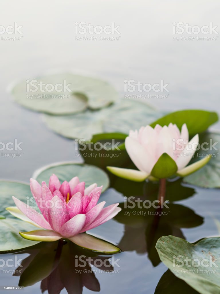 Vertical line of pink and white petals lotuses or water lilies floating on the surface of water in natural lake, river or swamp in natural park, national flower of Sri Lanka and Bangladesh stock photo