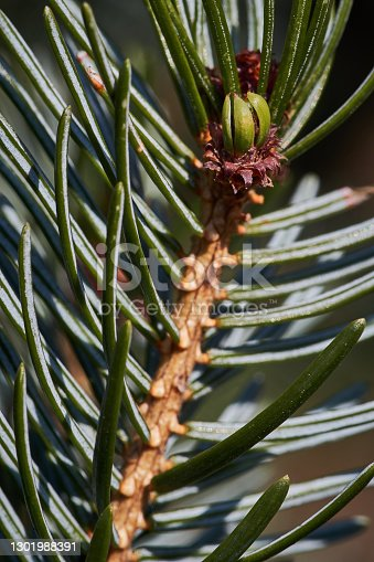 A vertical loseup shot of a pine tree branch