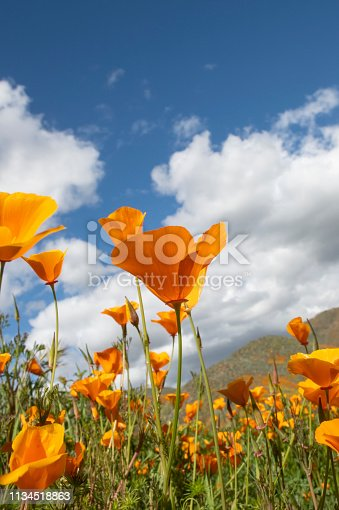 Vertical image of orange poppies during the Southern California Superbloom.