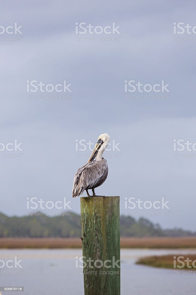 Vertical Pelican on a Post stock photo