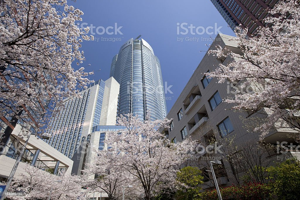 Vertical perspective image of Sakura flanked by cherry trees stock photo