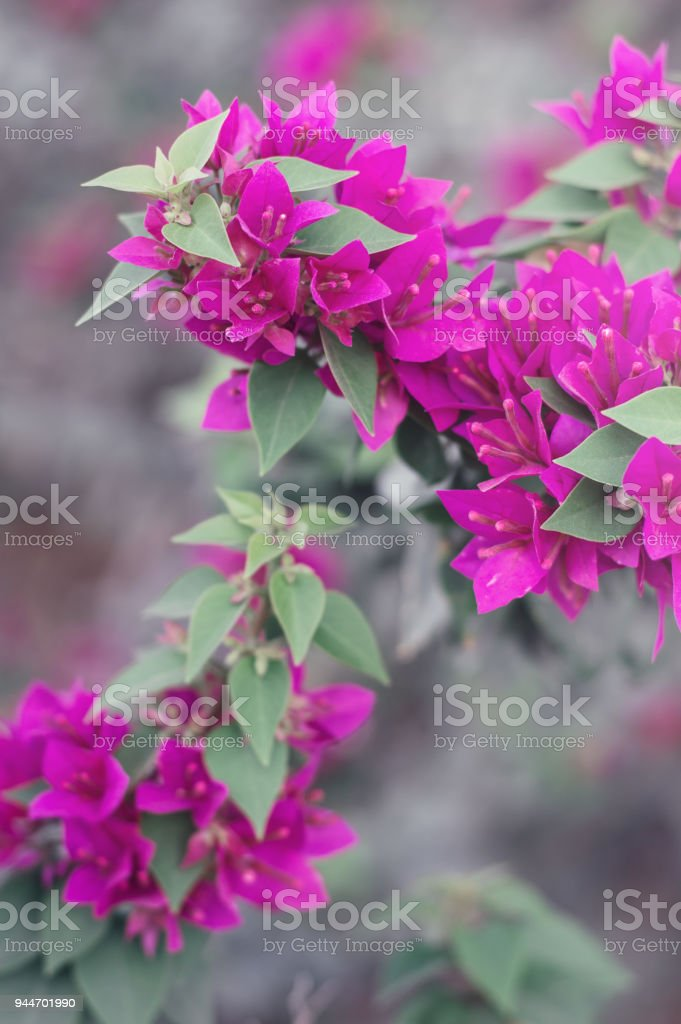 Vertical Photo Of Bougainvillea Flowers Bush With Beautiful Pink