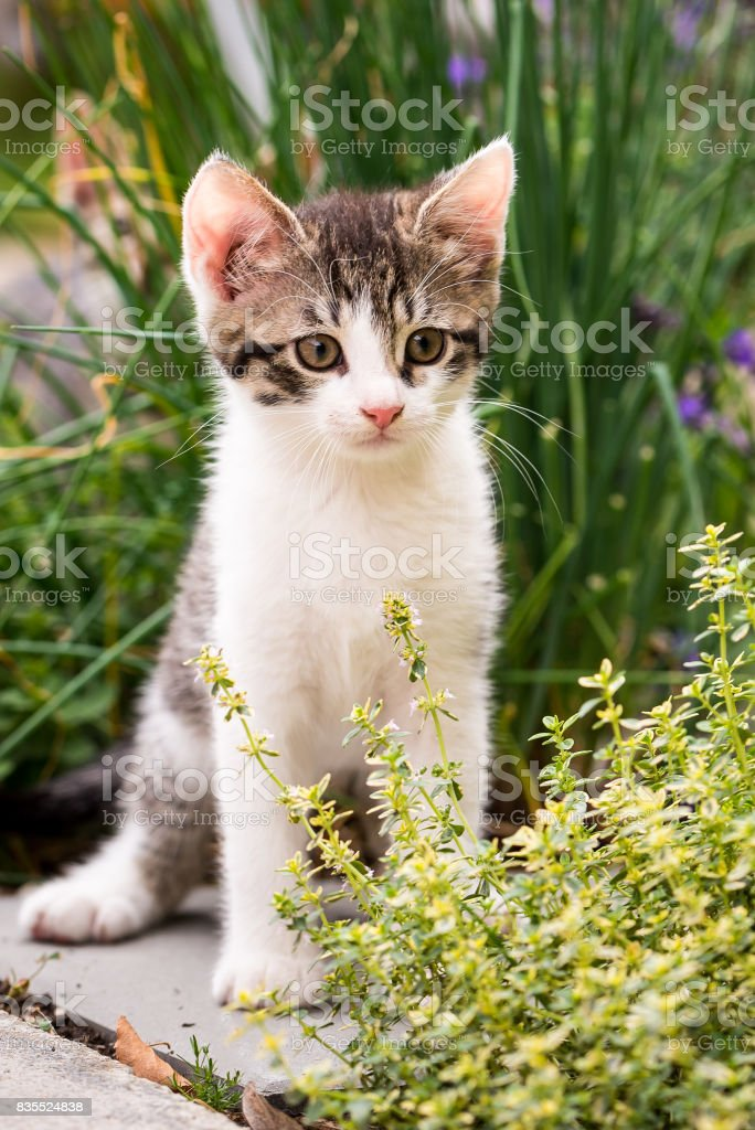 Vertical photo of few weeks old kitten. The cat has white fur with tabby spots on head and back. Animal sit on tile in the garden in front of green chive and behind thyme herb. stock photo