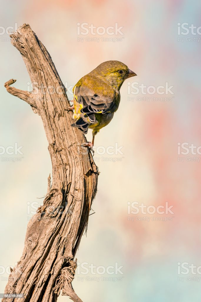 Vertical photo of greenfinch songbird. Bird has grey green and yellow feathers. Animal is perched on dry worn wooden twig. Background is blurred with various colors. Portrait of avian. stock photo