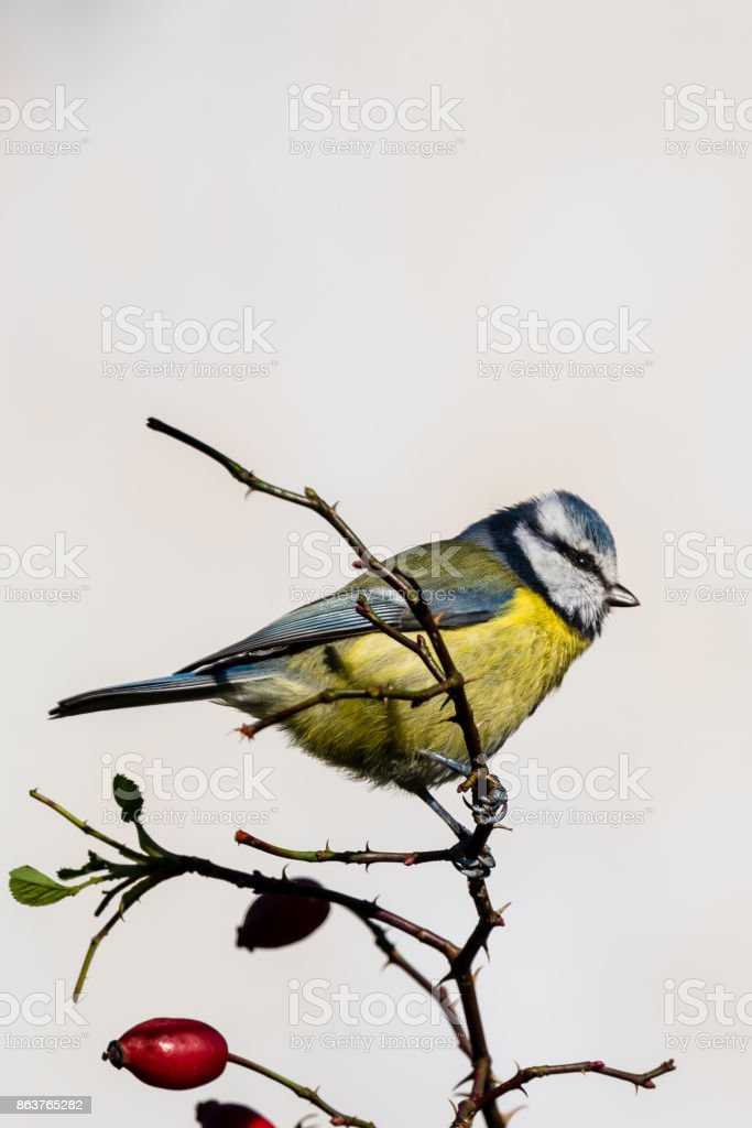 Vertical photo of single male blue tit songbird. Bird is perched on thin twig of red rose hip with few fruits. Animal has yellow, blue, black, green and white feathres. Background is light. stock photo
