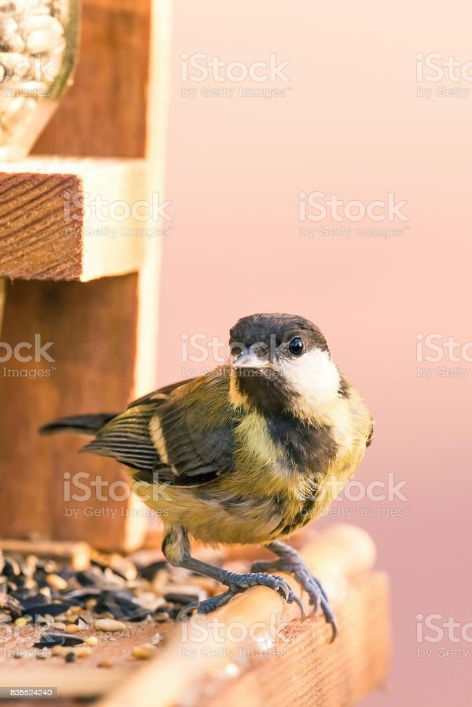 Vertical photo of single male great tit bird. The songbird is perched on wooden feeder with few kind of seeds. Bird with black, white and yellow feathers is on pink background. stock photo