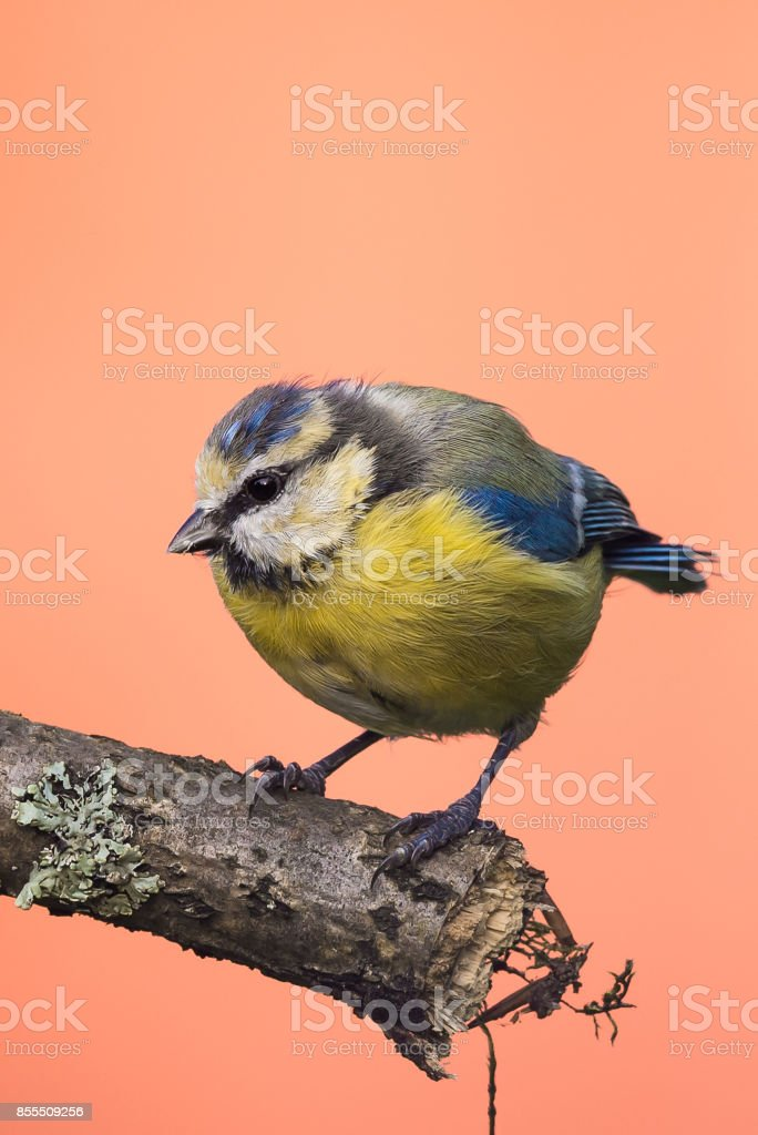 Vertical photo of young blue tit bird. Songbird is perched on branch with big lichen grey. Animal has black,white,  blue and yellow feathers. Wildlife photo of animal on pink background. stock photo