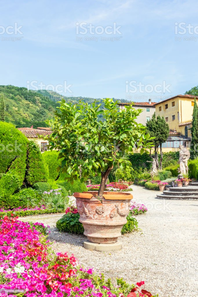 Vertical photo with big flowerpot. Green lemon tree with several fruits grows from the container which is placed on gravel. Tree is in famous Garzoni garden in Tuscany - Italy. stock photo