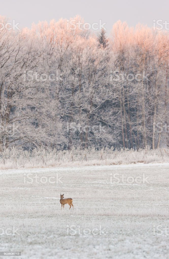 Vertical photo with female roebuck. The meadow with white grass is in front of fence and trees covered by frost. The tops of trees are already orange from morning sun. stock photo