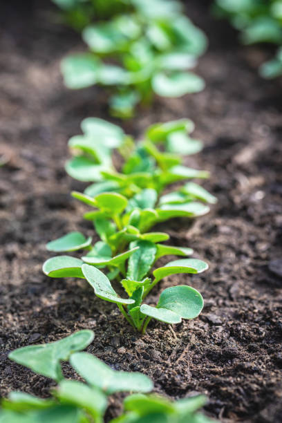 Vertical photo with several fresh plants grow from soil and sown in a line. Plants  are young radishes and have oval bright green leaves. Soil is dark black. stock photo