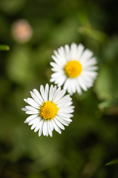Vertical photo with top view on two nice daisies. Flowers have white leaves and golden centers consists of small yellow balls. Daisies are growing from dark green grass. stock photo