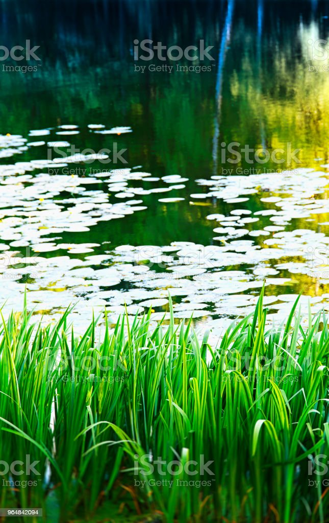 Vertical pond reed landscape bokeh background royalty-free stock photo