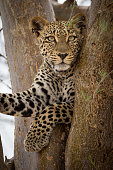 A vertical portrait of a young leopard sitting in a tree in Kruger Park South Africa