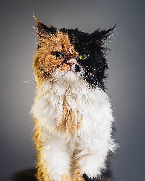 Vertical portrait of a persian cat looking at camera picture id467947672?b=1&k=6&m=467947672&s=612x612&w=0&h=n6ddm6tj6kxrajxzext4etdnbddl6yyhs kijthmr5e=