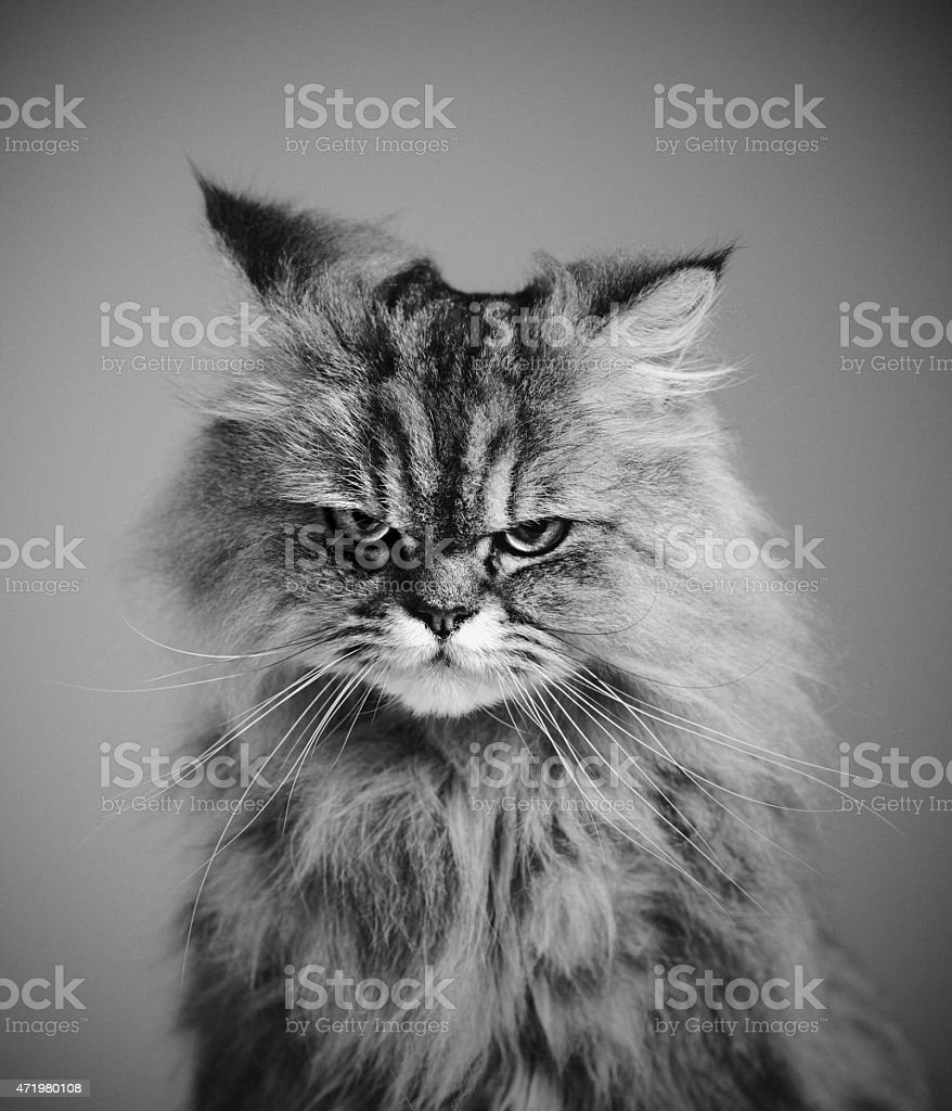 Vertical Portrait of a Persian Cat Looking at Camera. stock photo