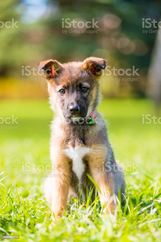 vertical portrait of a puppy in a park on green grass on a summer day stock photo