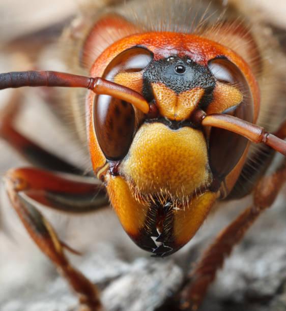 Vertical Portrait of Giant Hornet stock photo