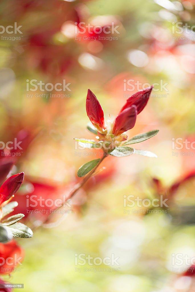 Vertical red azalea buds royalty-free stock photo