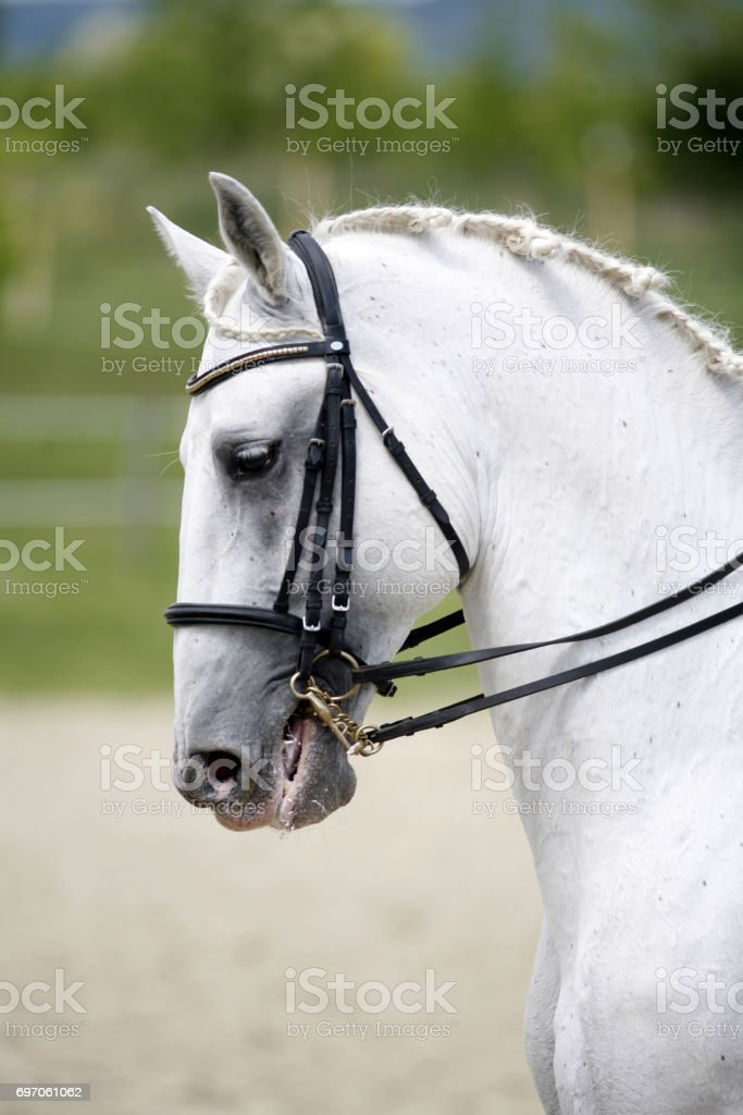 Vertical Shot Af A Beautiful Lipizzaner Dressage Horse Stock Photo Download Image Now Istock