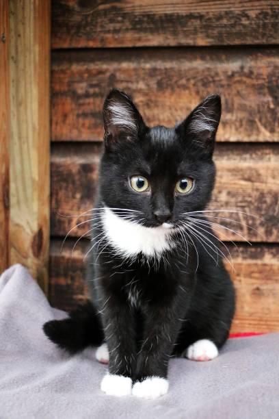 Vertical shot of a black and white kitten portrait picture id1269716623?b=1&k=6&m=1269716623&s=612x612&w=0&h=u5kykt00hajccmjiadoi5zjj6hms xwcyzmv37ryczs=