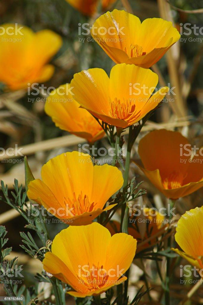 Tiro vertical de amapolas de California crecen naturalmente en un clima cálido, exótico, Tenerife, Islas Canarias, España - foto de stock