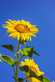 Golden sunflower with two bees on brilliant blue background.