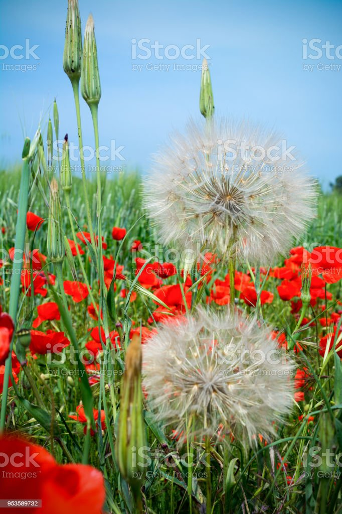 Vertical View of Close Up of a Couple of Araxacum Officinalis, on blur Poppies Field Background. Talsano, South of Italy stock photo