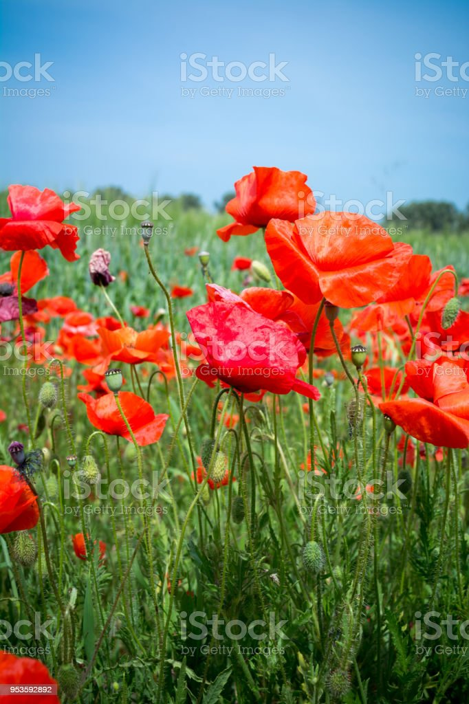 Vertical View of Close Up of Poppies Meadow on blur Background. Talsano, South of Italy stock photo