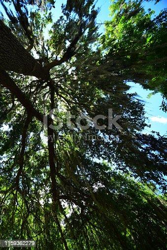 Tall oak tree with sunburst through gap. Photo taken at Silver Springs state park in Ocala, Florida. Nikon D750 with Venus Laowa 15mm macro lens