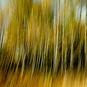 Vertical yellow and orang blurr from aspen trees in the fall