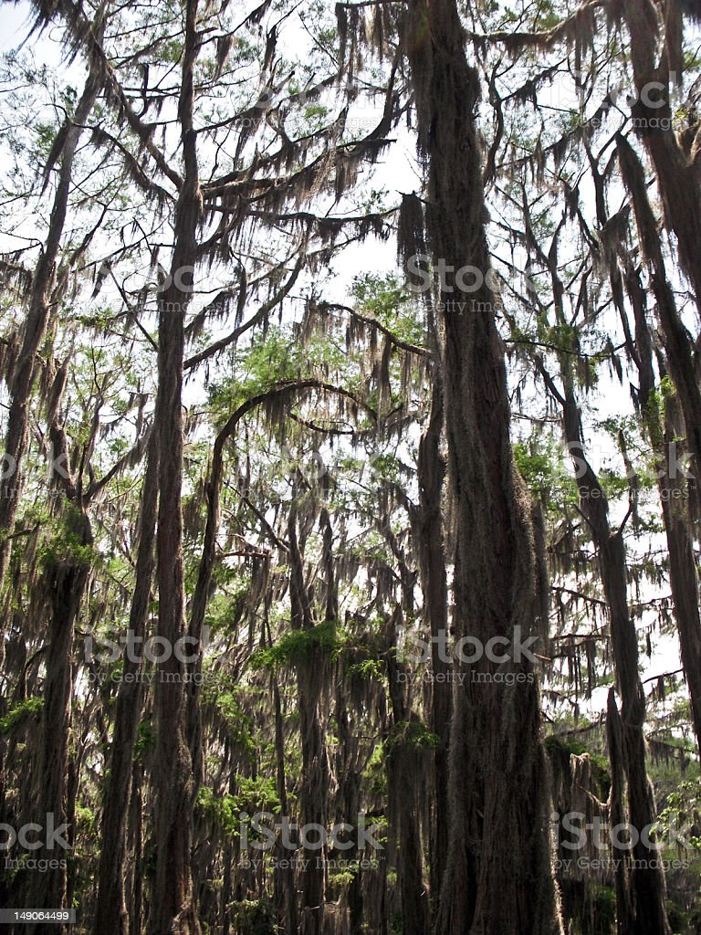 Verticle View of Cypress Trees royalty-free stock photo