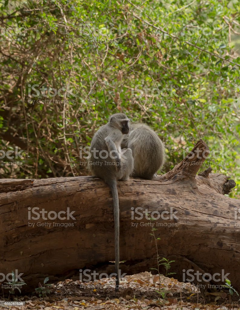 Vervet Monkey, Cercopithecidae, sitting on tree trunk with friends, scratching his body, Kruger National Park, South Africa stock photo