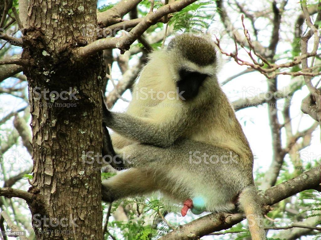 Vervet monkey, Chlorocebus pygerythrus in  Kenya stock photo