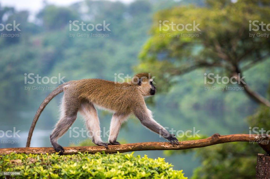 Vervet Monkey - Chlorocebus pygerythrus stock photo