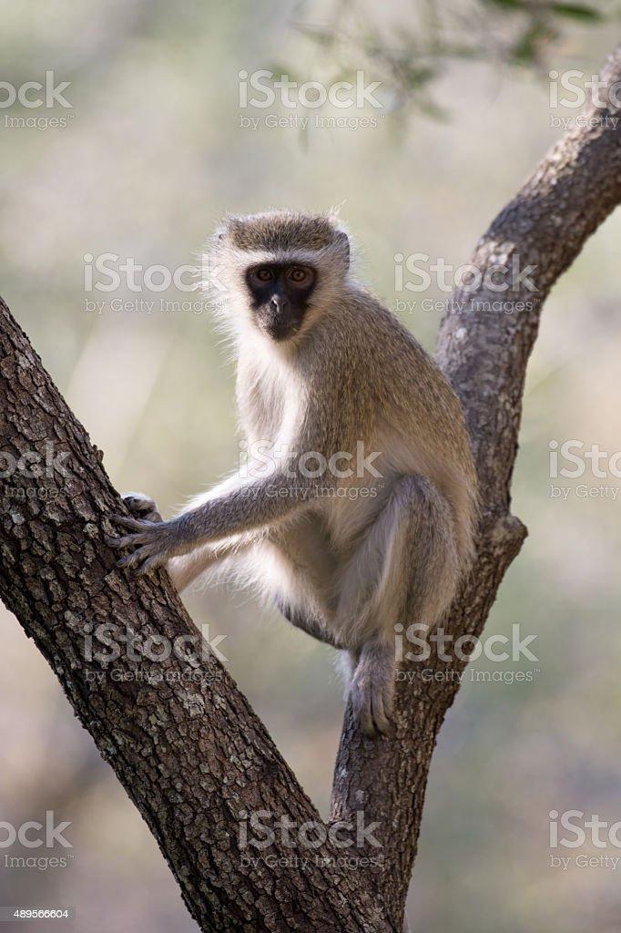 vervet monkey in a tree stock photo