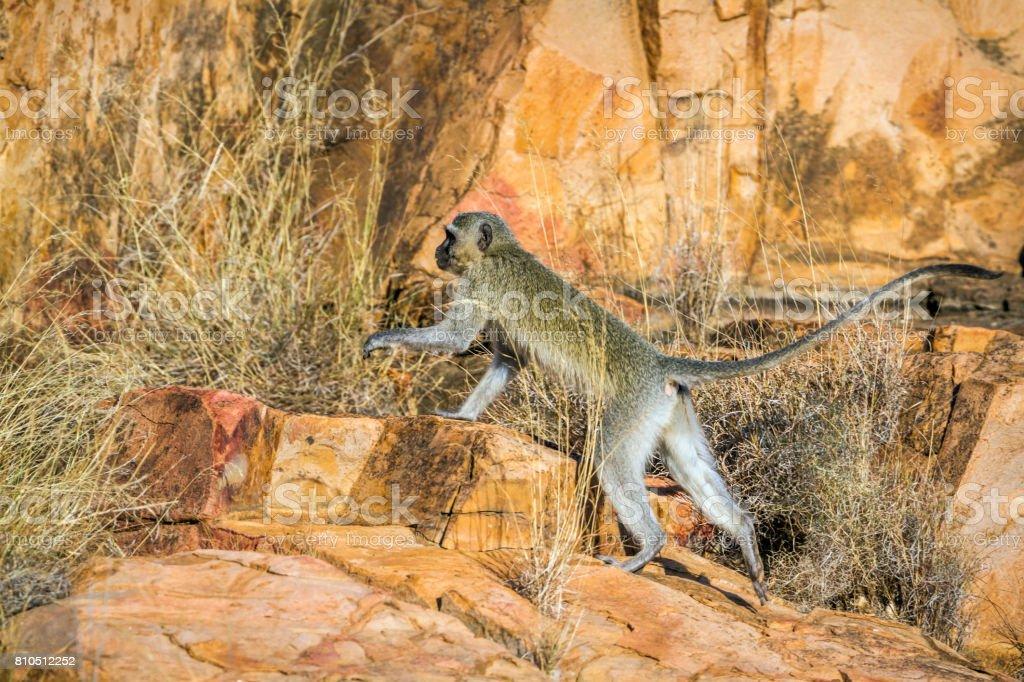 Vervet monkey in Kruger National park, South Africa stock photo