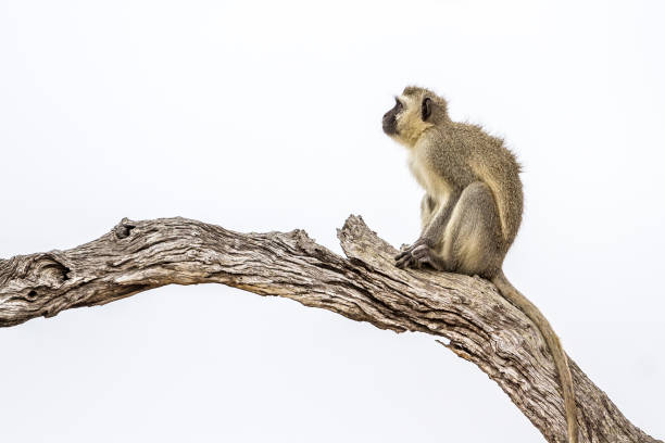Vervet monkey in Kruger National park, South Africa Specie Chlorocebus pygerythrus family of Cercopithecidae langur stock pictures, royalty-free photos & images