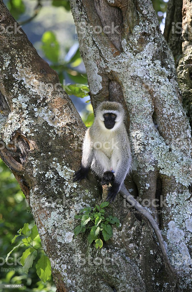 Vervet monkey (Chlorocebus pygerythrus), Kericho district, Rift Valley, Kenya. stock photo