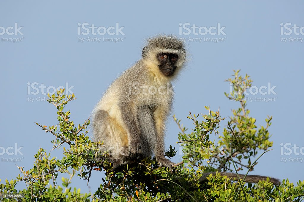 Vervet monkey royalty-free stock photo
