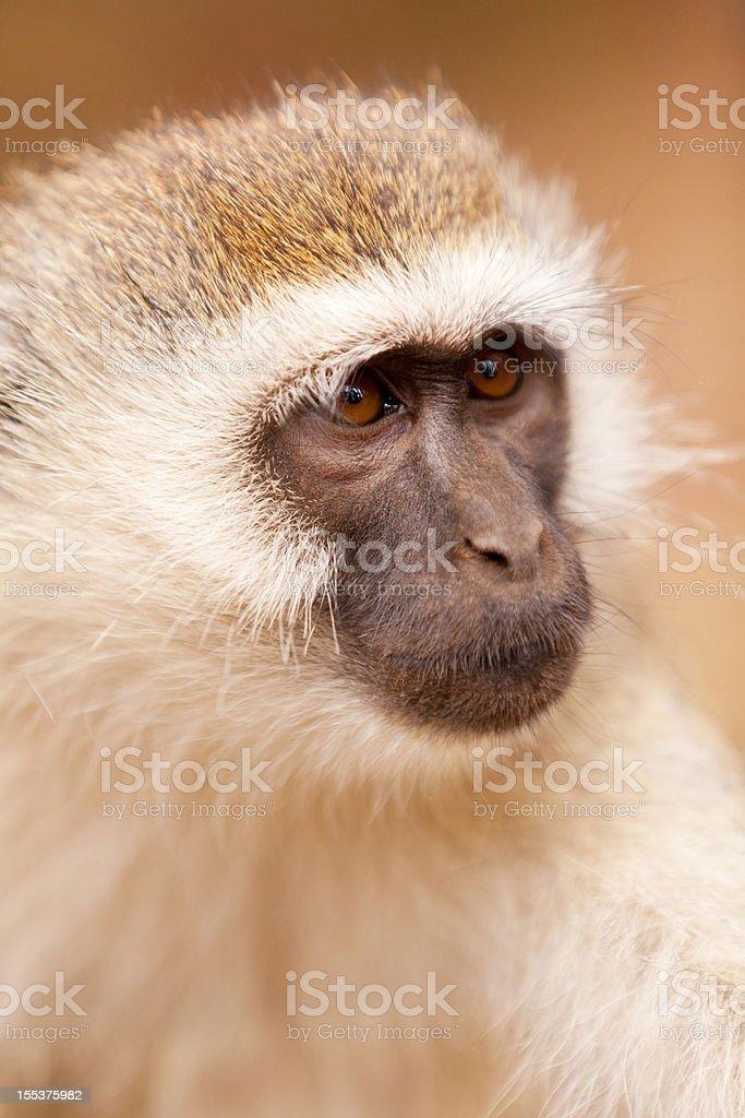 Vervet monkey royalty-free stock photo