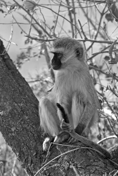 grüne meerkatze - tierpenis stock-fotos und bilder