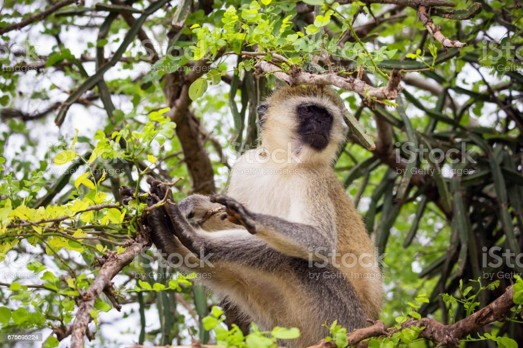 Vervet monkey sits on a tree royalty-free stock photo