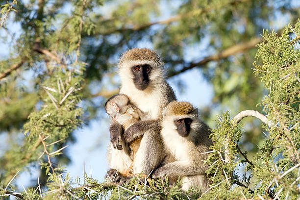 Vervet monkeys with a baby up on the tree stock photo