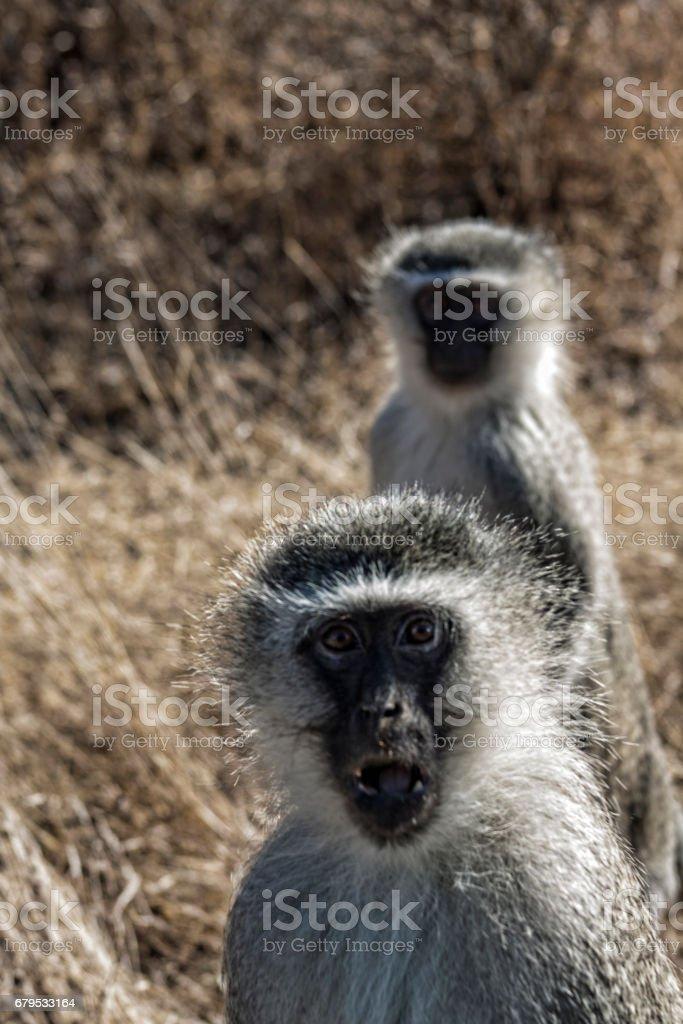 Vervet monkies, Kruger Park, South Africa royalty-free stock photo