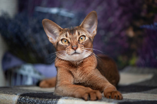 Very beautiful abyssinian cat kitten on the background of a lavender picture id1151771936?b=1&k=6&m=1151771936&s=612x612&w=0&h=pje1xv v3gjj9cxwk1g0ox50ce4d sfoq5wxgw m9iu=