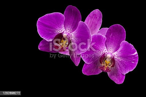 Very beautiful close-up of purple phalaenopsis orchid flower, Phalaenopsis known as the Moth Orchid or Phal isolated on black background. Nature concept for design. Place for your text.