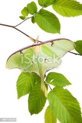 istock Very beautiful Luna Moth (Actias luna) beech branch isolated on 463729203