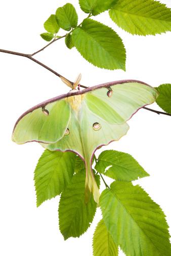 istock Very beautiful Luna Moth (Actias luna) beech branch isolated on 463729203