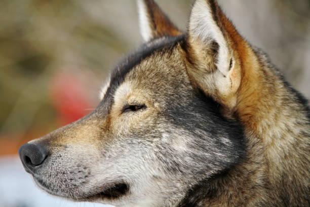 very beautiful portrait of a husky dog stock photo