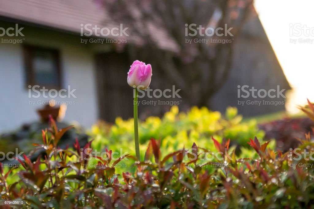 Very beautiful Tulips after the spring rain royalty-free stock photo